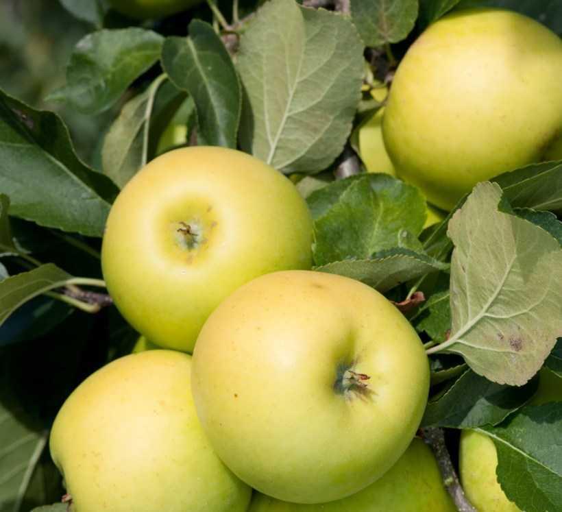 Сорта яблок: принципы выбора сортов, описание и характеристики популярных видов. Летние, осенние и зимние яблоки, их отличия