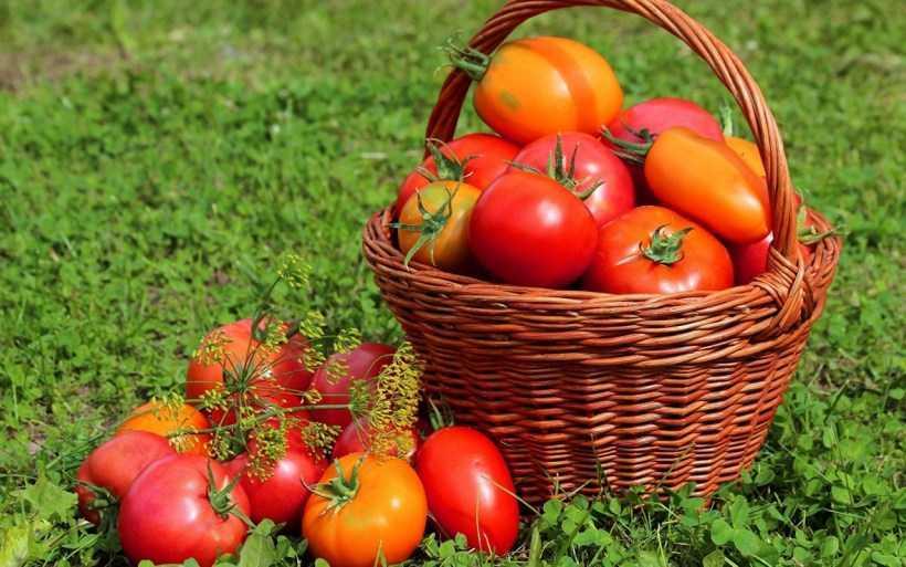 Сорта томатов: описание популярных сортов помидоров, отличительные характеристики. Обзоры самых вкусных и урожайных видов