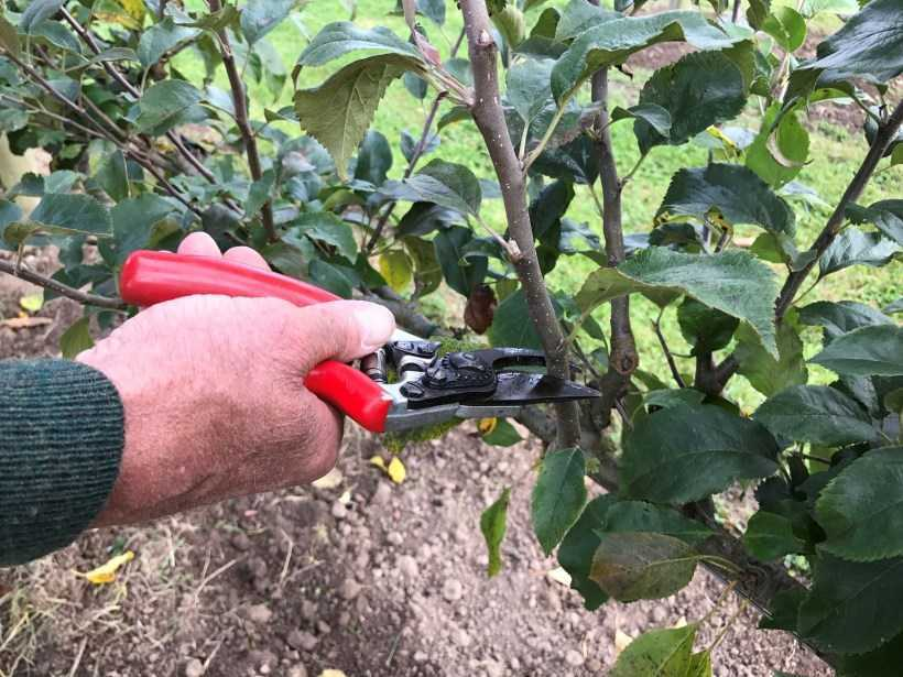 Обрезка яблони для начинающих: схема, сроки и правила обрезки своими руками. Поэтапная инструкция для начинающих