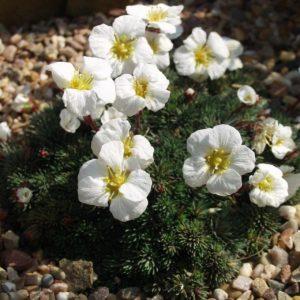 Цветок камнеломка — требования к почве и температурным условиям. Способы выращивания и размножения, правила ухода (фото + видео)