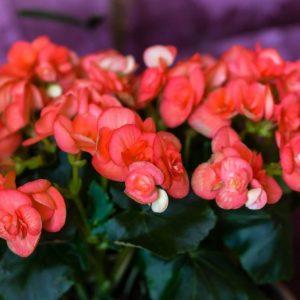 Домашняя бегония — ТОП-100 фото растения, советы по выращиванию в домашних условиях. Размножение, цветение, полив бегонии