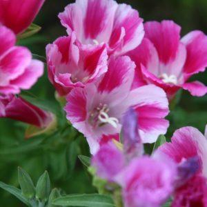 Кларкия изящная: особенности сортов, правила ухода за растением, требования к почве. Возможные заболевания и способы лечения