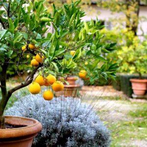Лимонное дерево: особенности высадки, правила ухода, обрезки, подкормки. Идеи декоративного оформления (150 фото)